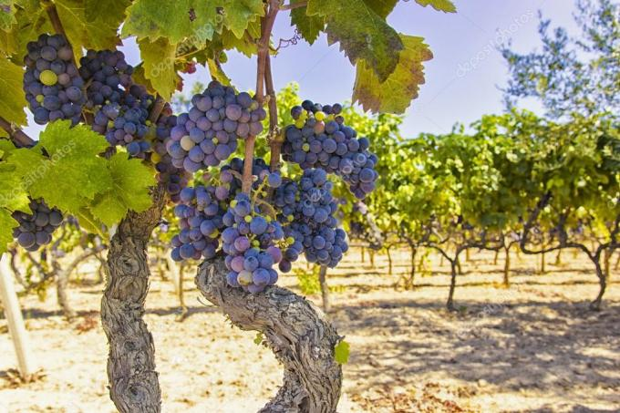 depositphotos_124807380-stock-photo-vines-and-grapes