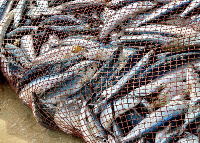la-rete-è-piena-dei-pesci-cattura-piacevole-26514505