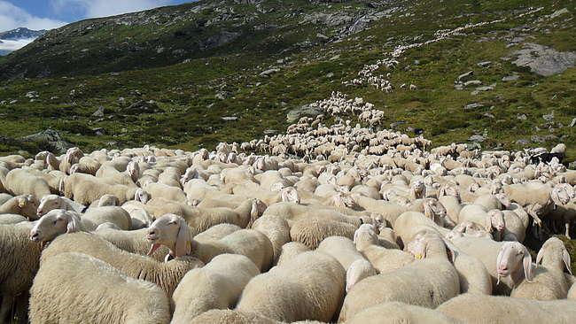 sardo_pecore
