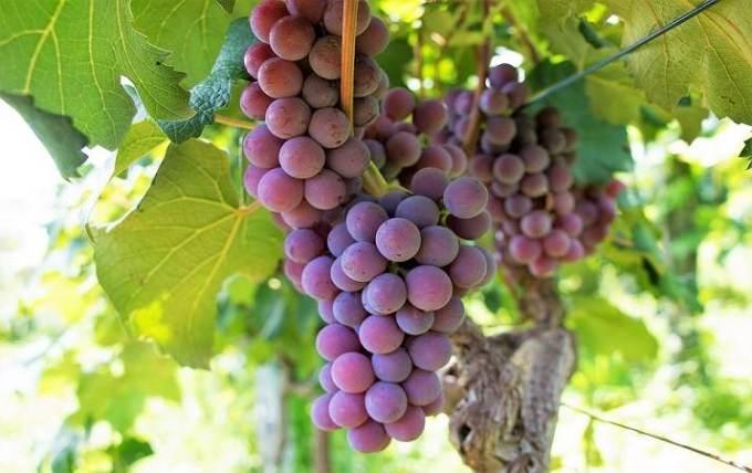 sognare-uva