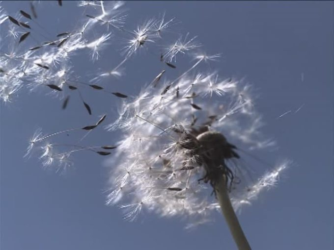 889127367-soffione-seme-fioritura-volare